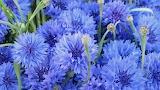 ^ Cornflowers
