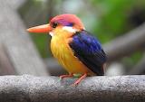 Oriental dwarf kingfisher (Ceyx erithaca) bird