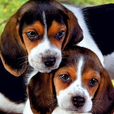 🐶Sweet Beagle Puppies...