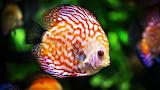 #Discus Fish