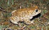 Natterjack-Toad