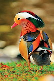 Colorful Duck