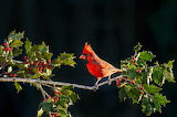 Cardinal on a holly branch