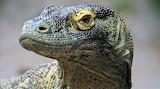 Komodo Dragon closeup