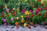 ^ Colorful zinnias