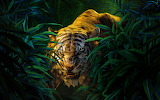 Shere Khan- The Jungle Book