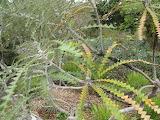 Shortleaf black spruce