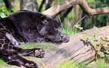 Wild cat-black jaguar