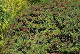 Hedge-Wild-Berries