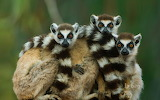 Ring-tailed lemurs at Berenty Reserve in Madagascar
