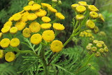 Wildflower Tansy