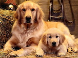 Pure Gold - en Retrievers