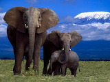 African Elephants Amboseli National Park Kenya...