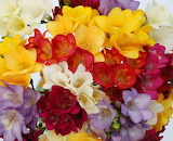 Bright freesia