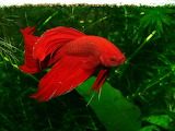 Freshwater-fish-wallpapers