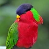 "Birds tumblr amnhnyc ""Collared Lory"" ""Phigys solitarius"""