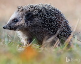 European hedgehog in Emsland. Germany