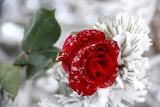Fin de vie pour cette belle rose....
