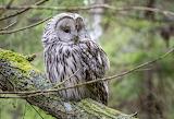 Ural-owl-bird
