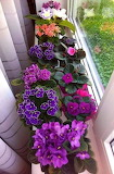 ^ African Violets in the windowsill
