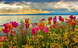 tulips by the sea