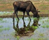 Moose in a Marsh