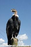 Vautour / Vulture