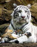 White tigress with a red tiger cub photo