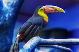 Colorido tucan