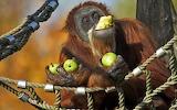 orangutan eating apples