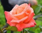Flores 801
