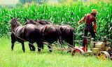 Amish peasant at work