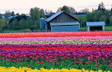 Wooden-shoe-tulip-farm-tulips-and-barn