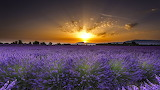 Valensole-France-lavender fields