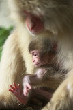 SNOW MONKEY MOM AND BABY