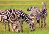 Zebras ~Tsavo