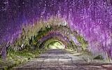 Wisteria blooms at Kawachi Fuji Gardens in Kitakyushu Japan