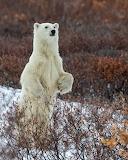 Bears - Polar bear - Canada