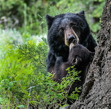 Bears - mama black bear and cubs