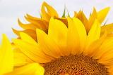 TuscanSunflower