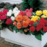 ^ Colorful begonia container planting