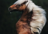 Horses - stallion