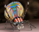 Male Peacock Spider CC0