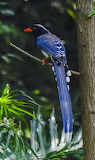 Blue Magpie - resting