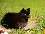Black cat having a rest