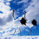 Japanese Cranes...