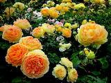 #Garden Roses