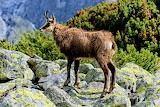goat in Tatra Mountain