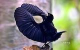 Victoria's riflebird in Wooroonooran National Park. Queensland.