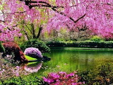 pink blooms on trees